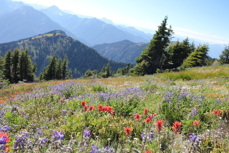 More alpine wildflowers on Mount Outram trail