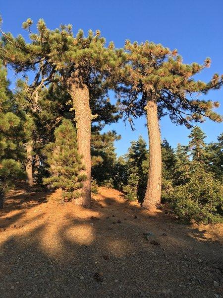 Gateway Trees