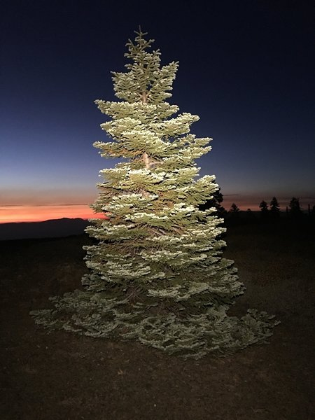 Red fir on Snow Mountain West.