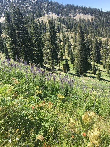 Wildflowers on Pacific Crest Trail.