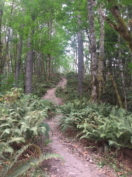 Lots of ferns adorn the trail under the tall tree canopy. You'll be nearly 100% in the shade.