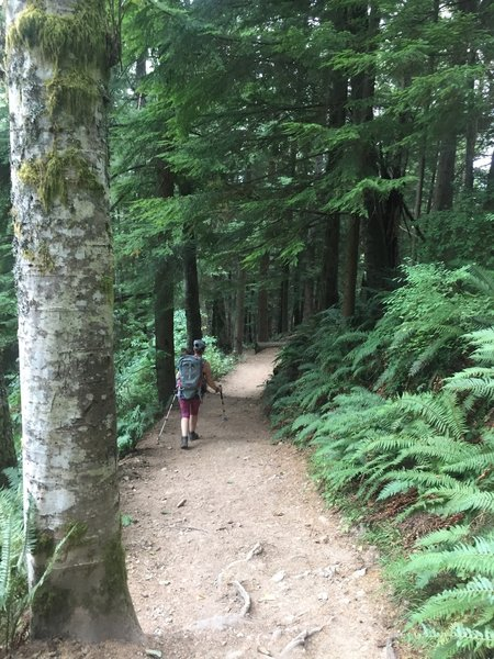 West Tiger #3 - a wide cruiser trail through tall trees with luscious ferns.