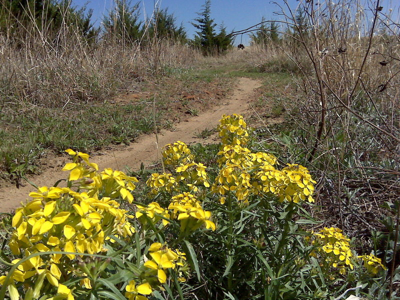 Spring on the trail. Western Wallflower.