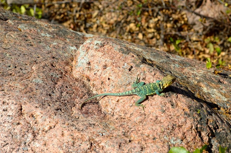 Saw a few of these Collared Lizards on the Narrows Trail.