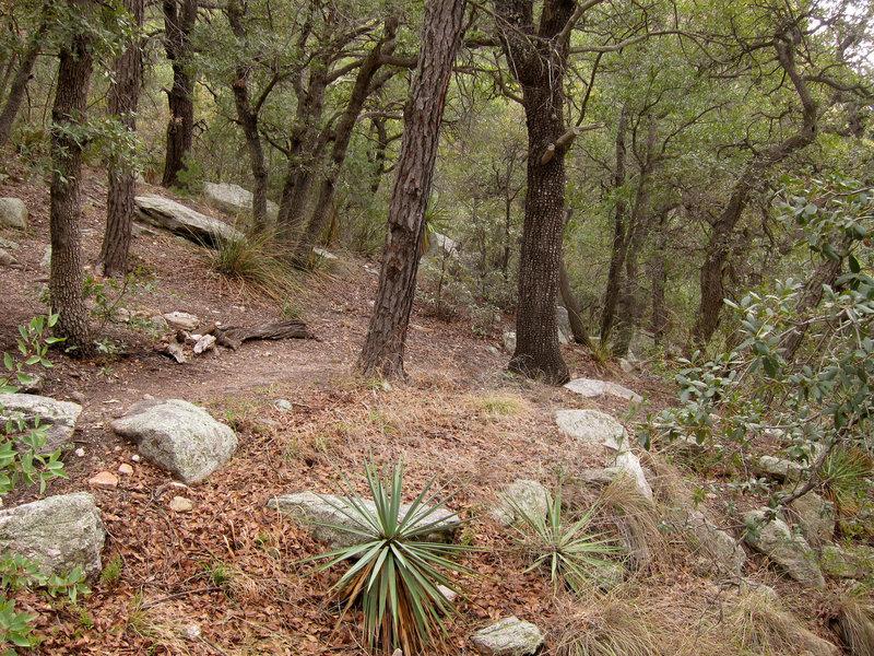 Forest on Pusch Ridge Wilderness Mount Kimball trail.