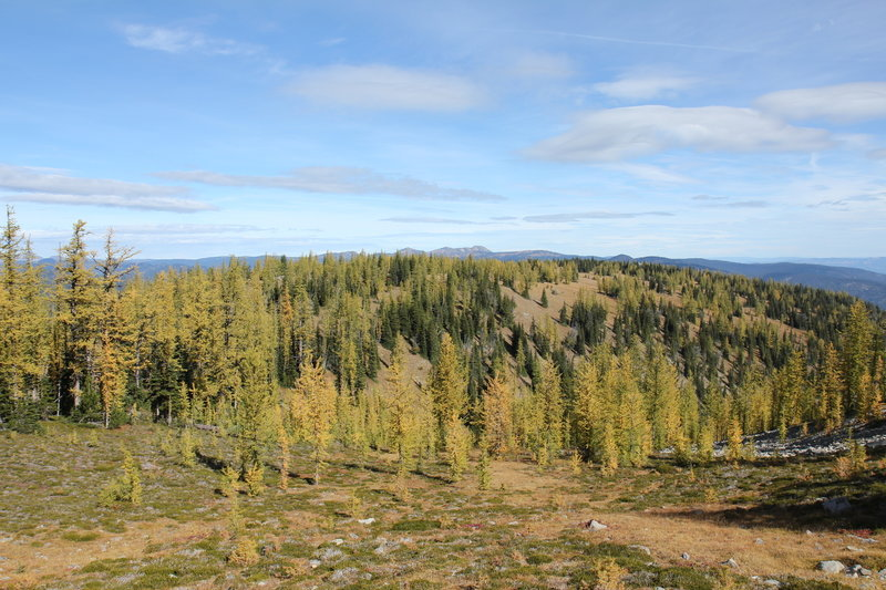 More larch meadows