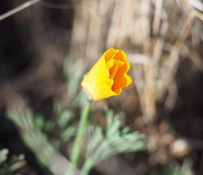 A soon-to-bloom California Golden Poppy