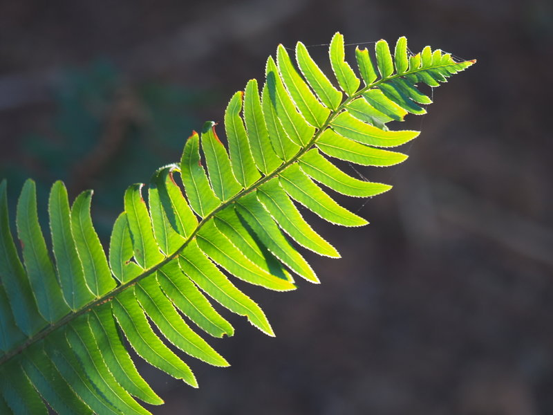 Possibly an Evergreen Sword Fern