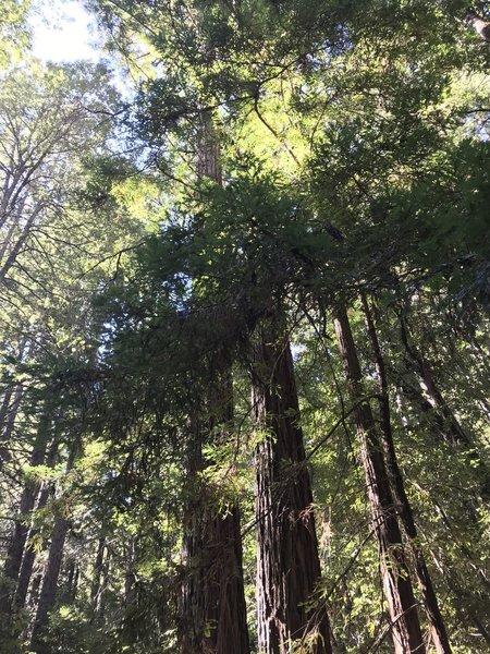 Groves of redwoods.