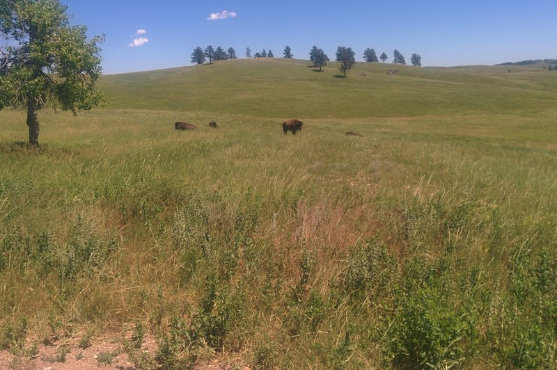 Bisons in Black Hills National Forest