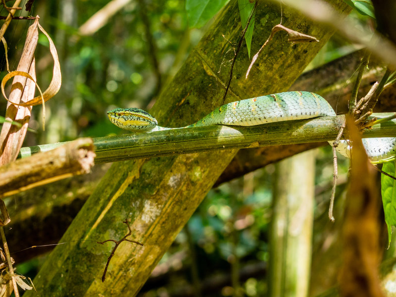 Green Pit Viper along the trail.