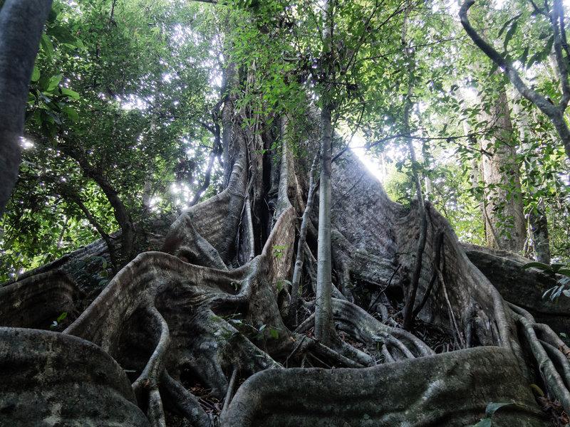 Massive tree along the Ton Kiol Track.