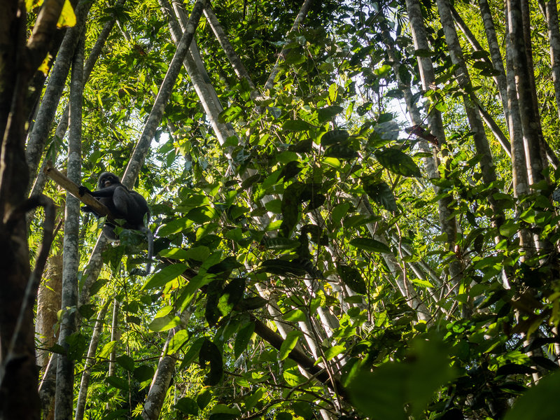 Spectacled langur playing in the bamboo near the trail