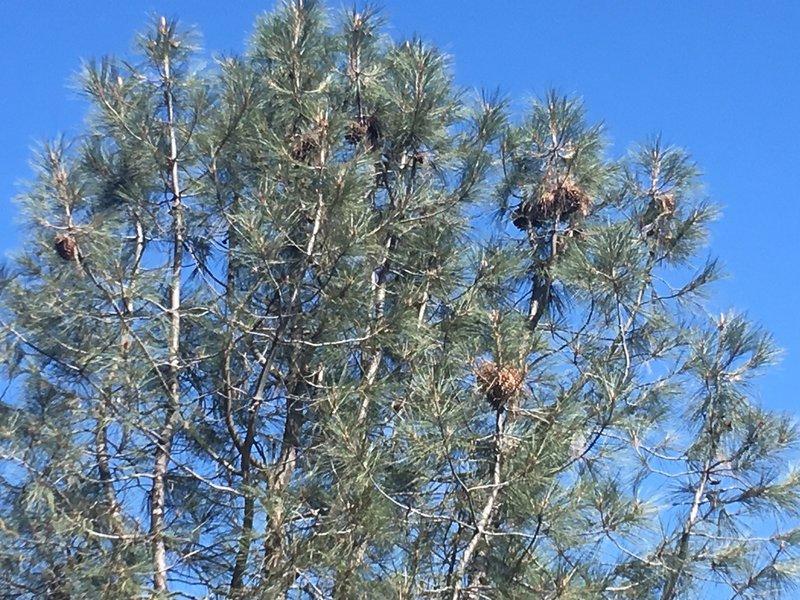 Pine trees along the Mount Umuhnhum Trail