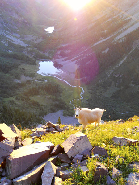 A mountain goat on the side of North Maroon Peak at sunrise.