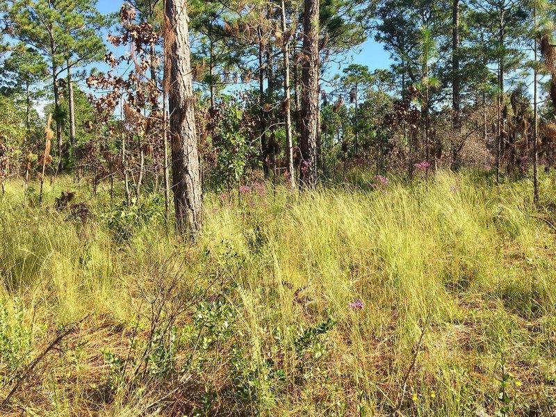 Pine Savannah