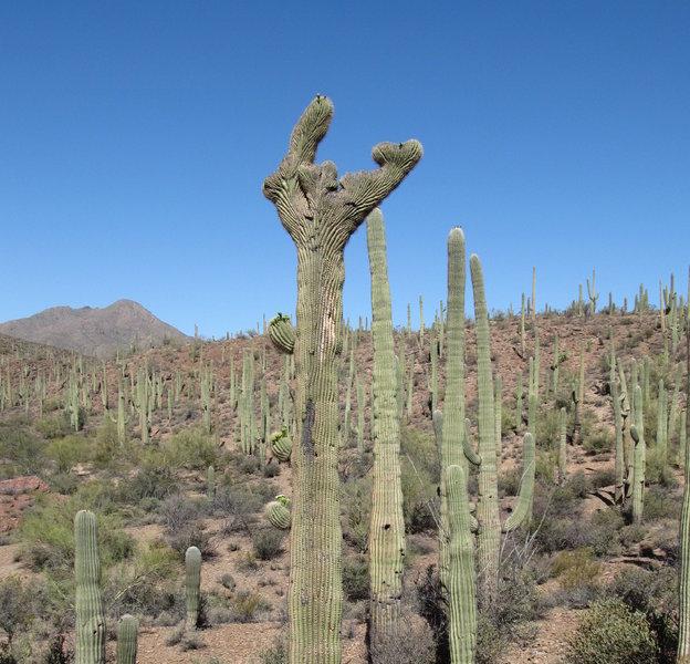 The rare Crested Saguaro Cactus.