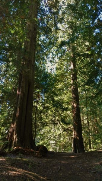 The old growth fir forest of Mountain Lake Loop.