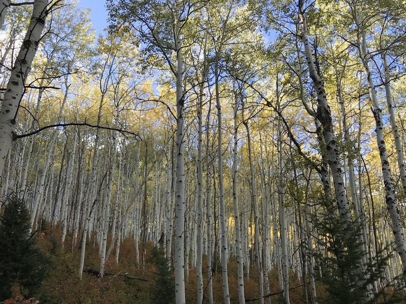 Aspens on the trail....