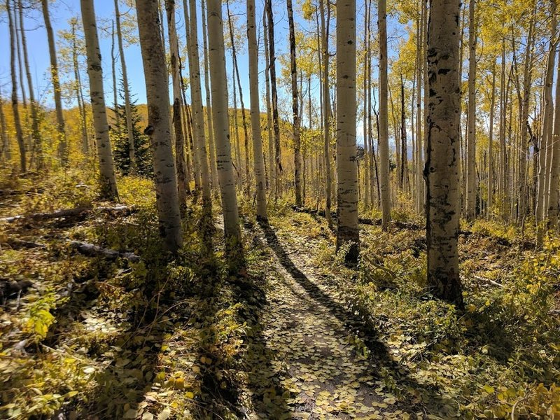 Singletrack through fall aspens.