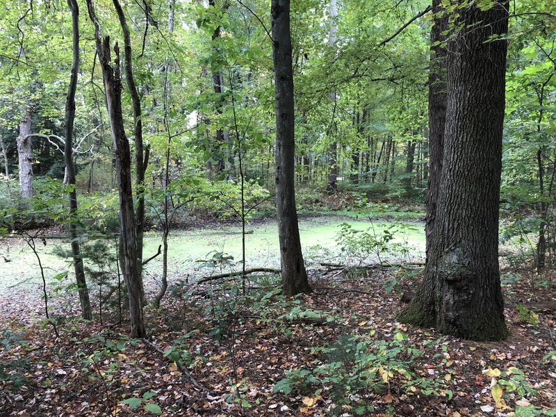 An algae filled pond sits off the boardwalk portion of the trail in the woods.