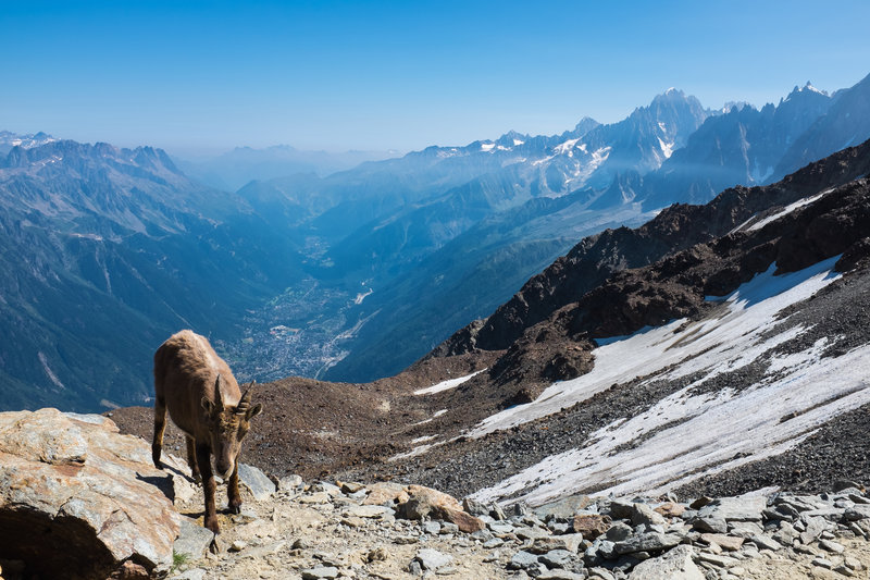 A mountain goat, high above Chamonix on the shoulder of Mt. Blanc.