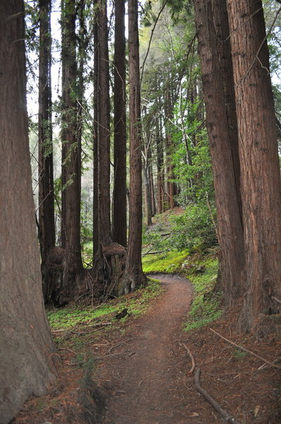 """Redwood """"fairy rings"""" on the Old Cabin Trail."""
