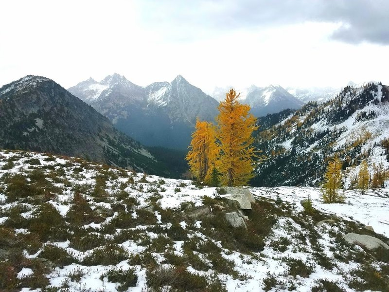 Larch trees golden for fall