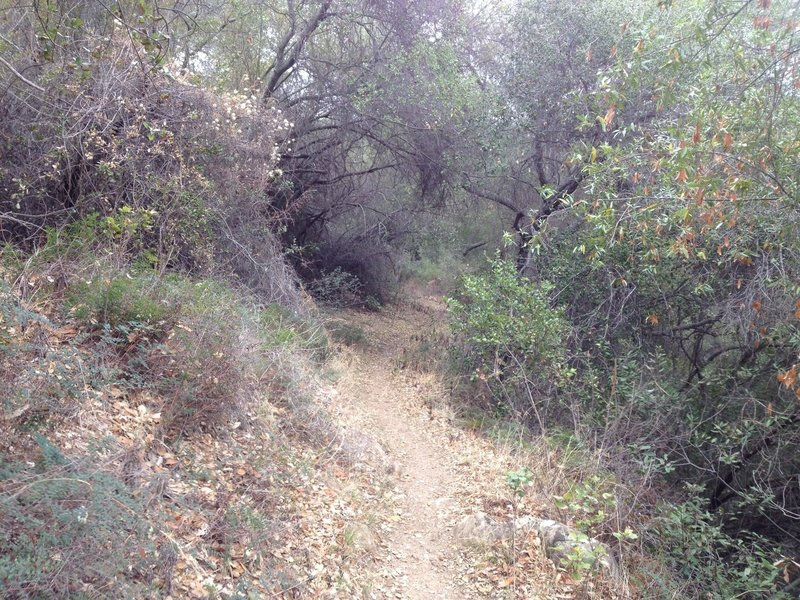 Arroyo Burro Trail winds down through a lush north slope forest.