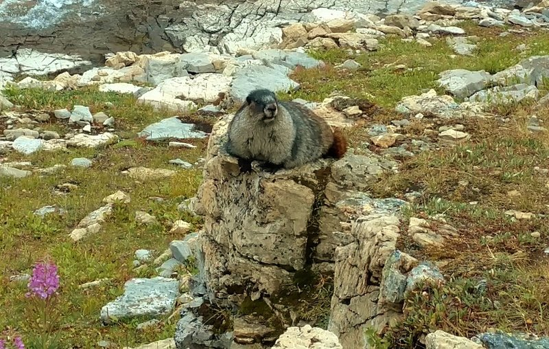 Hoary Marmot. They are all over the place in the meadows below Snowbird Pass
