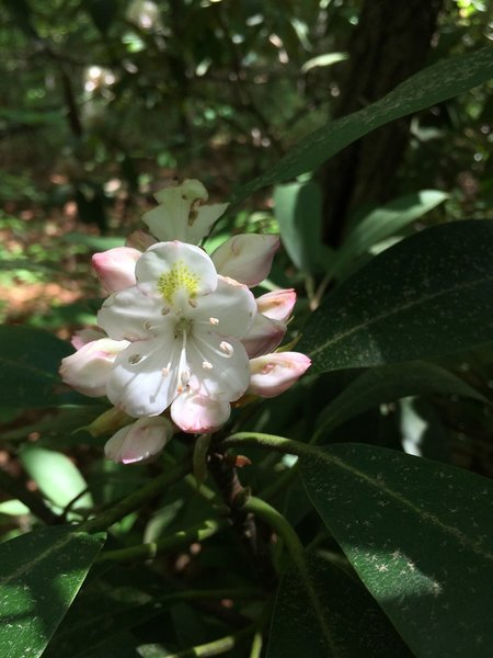 A beautiful rhododendron on the trail.
