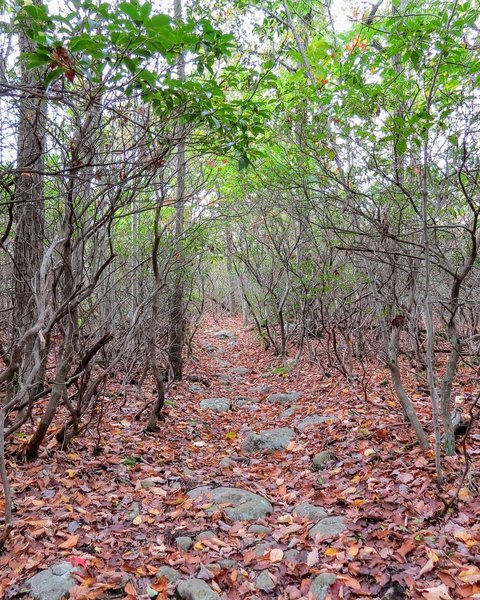 """Rhododendron """"Tunnels"""" can be found in many northern NJ destinations.  Here is an autumn view off the Wyanokie Circular trail in Norvin Green State Forest"""