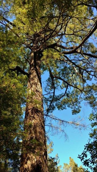 Beautiful, big, old redwood tree along the Ridge Trail