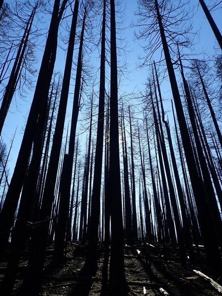 Burned trees along the South Rock Creek Trail #3709.