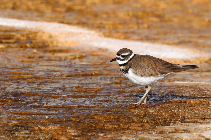 A killdeer forages on Mammoth Hot Springs