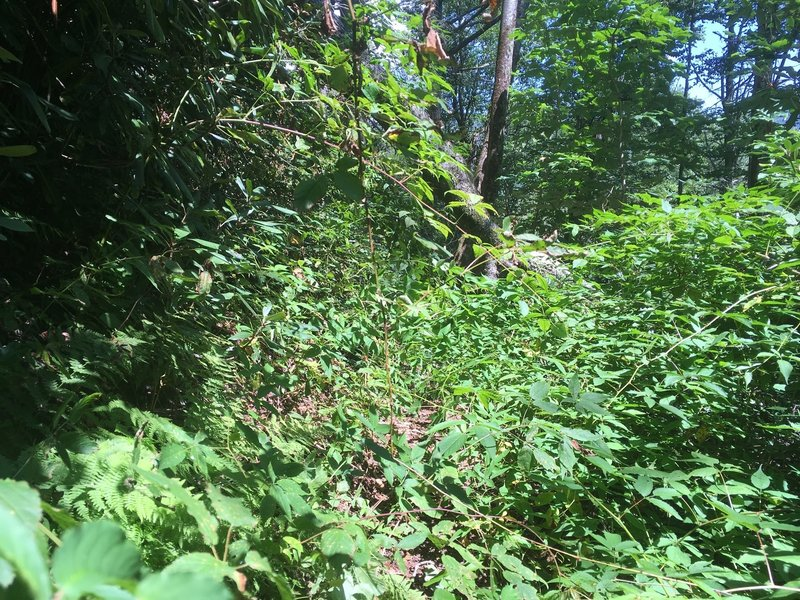 Example of overgrown trail in June 2017. Not as bad as it looks since the overgrown sections are no more than 50 feet.