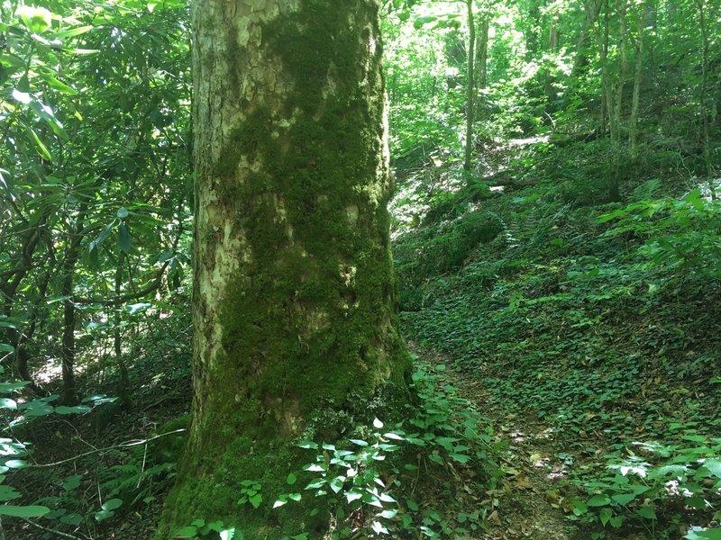 Large Beech tree covered in Moss alongside Burntrock Ridge Trail.