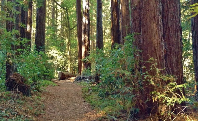 Giant redwoods are everywhere along High School Trail