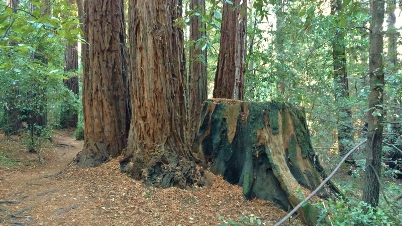 Many second growth redwoods replace a logged old growth redwood. Logging ended in the early 1900s in this area.