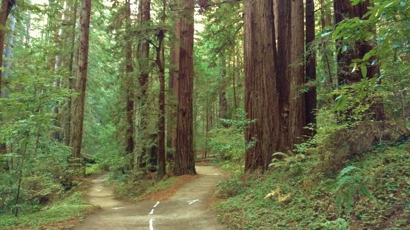 High School Trail ends in a loop around a clump of tall, stately redwoods.