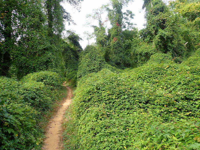 Vine covered forest.