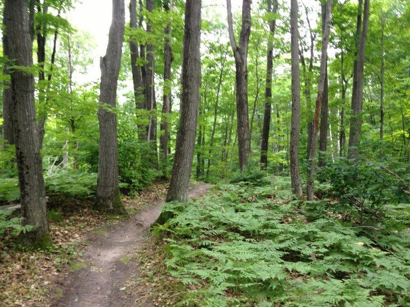 Oaks on Walkabout Trail.