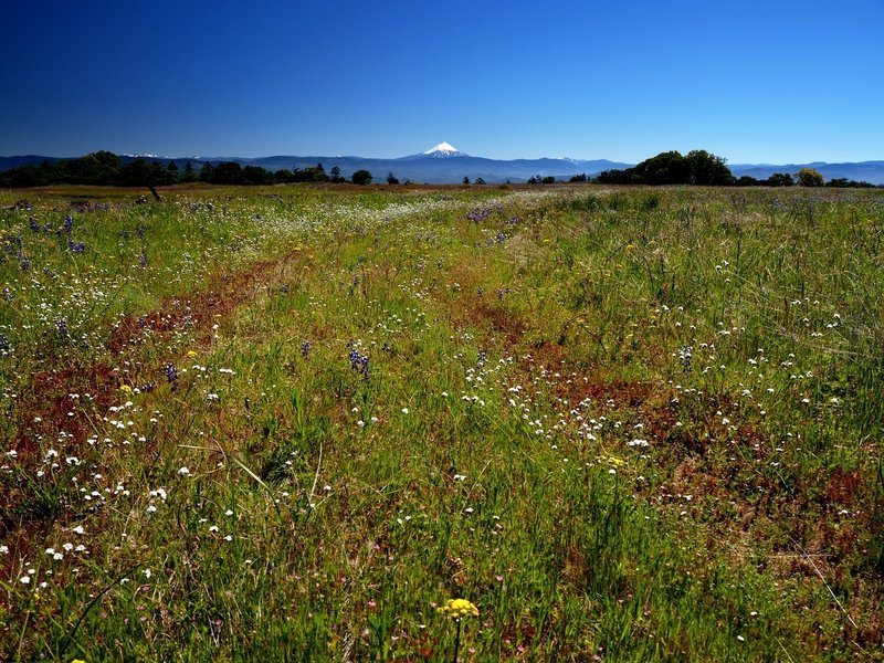 Mount McLoughlin beyond a field of wildflowers on Upper Table