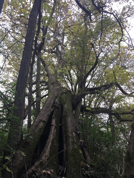 One of the many interesting old trees on the property