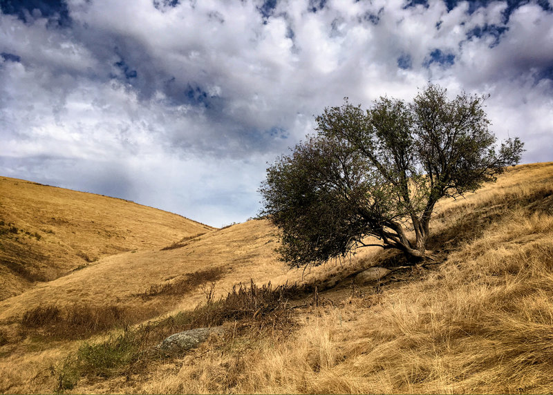 Windswept Tree on the lea of the ridge