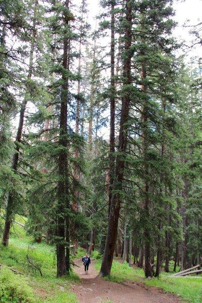 Trail between pine trees