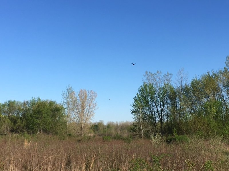 Great Blue Heron Flying over the wetlands