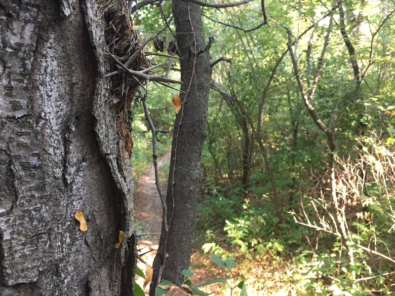Mind the honey locust trees