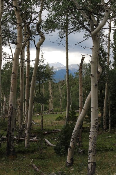 Beautiful Aspen stand on way down from Quandary