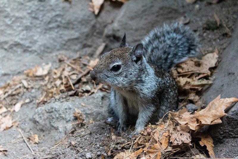 A curious squirrel along Mist Trail